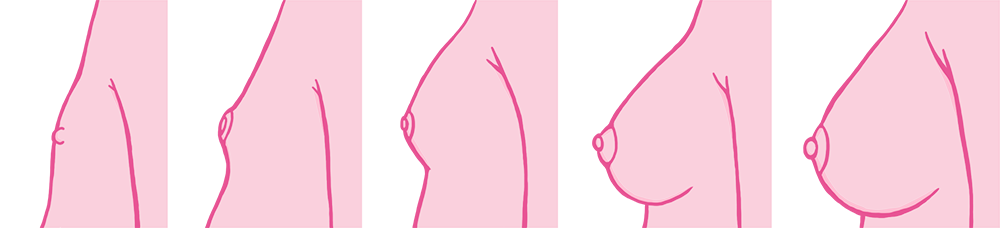Breast-Development-Illustration-1.png